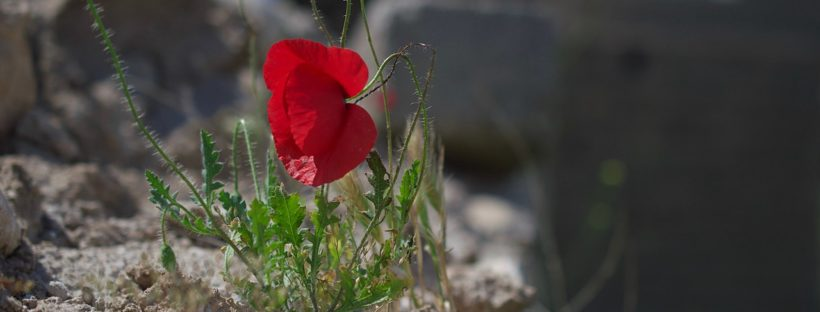 A photograph of a poppy next to the Yezidi Shrine of Khiz Rahman in Baadre, Iraqi Kurdistan, taken by Levi Clancy in 2017.